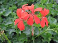 Geranium lierre rouge