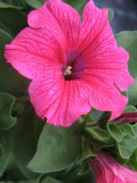 Plantes annuelles - Petunia de bouture Surfinia 'hot pink'