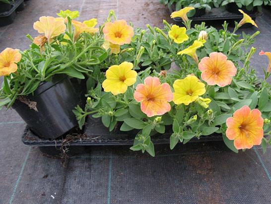 Petunia de bouture 'indian summer'